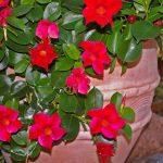 Mandevilla Plants Cuttings Rebloom in Spring